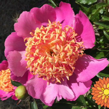 Sequim Botanical Garden Society Peony Fundraising Effort at Sequim Farmers Market Last minute Holiday Show on Saturday, December 23 9AM-3PM