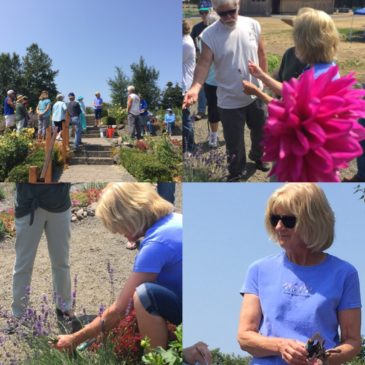 "July 28 Lavender ""Work to Learn"" Party at Sequim Botanical Garden"