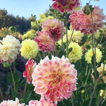 "September 22 Dazzling Dahlias ""Work to Learn"" Party at the Sequim Botanical Garden"