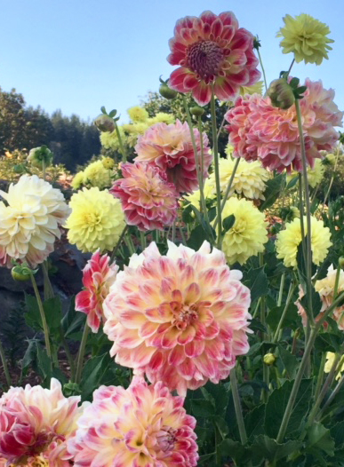 Dahlias in the garden photo by Suzanne Eaton
