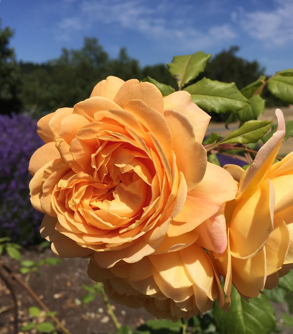 Golden Celebration Roses at the Sequim Botanical Garden by Renne Emiko Brock