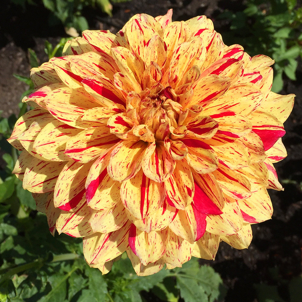 Zookeeper's Giraffe Dahlia - yellow and red dahlia flower in bloom