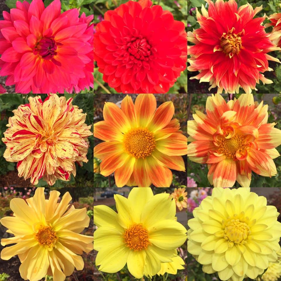 nine warm colored dahlias in the garden