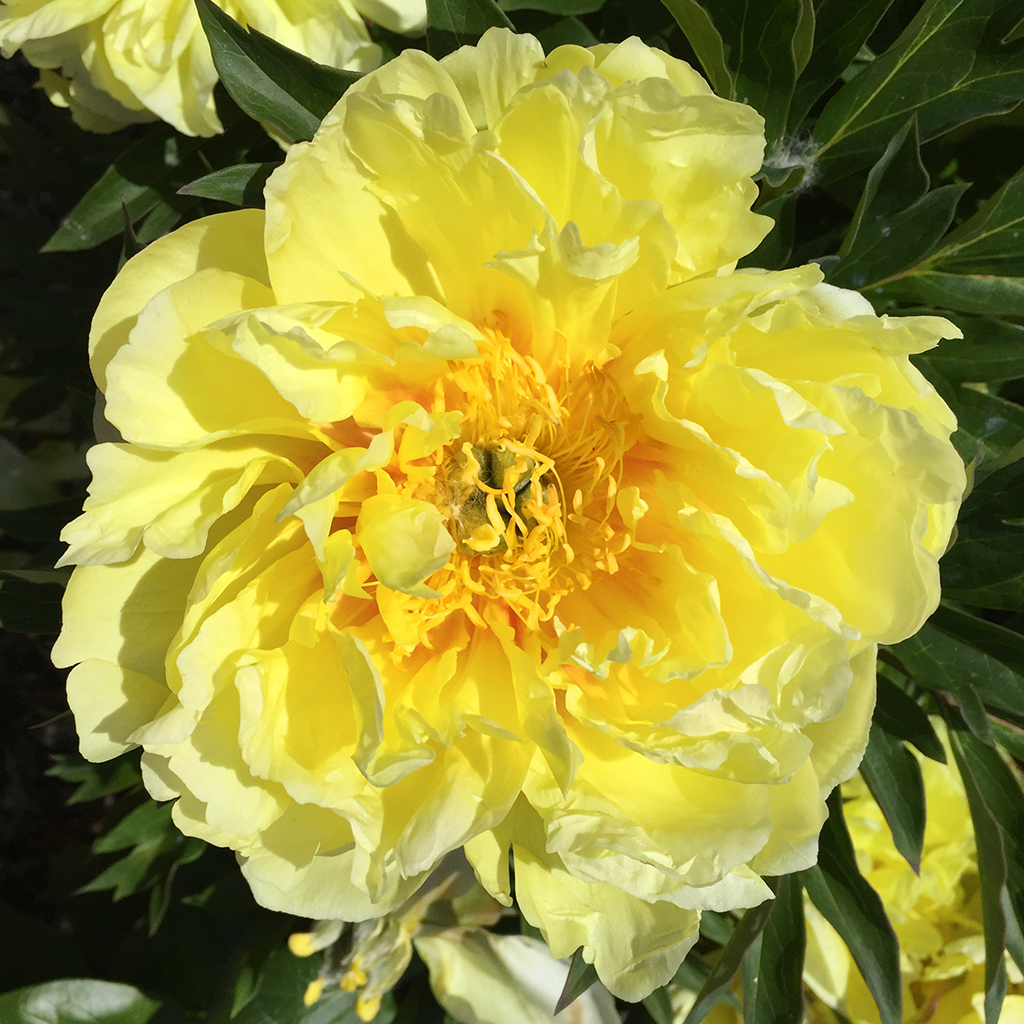 Bright yellow peony in the Sequim Botanical Garden