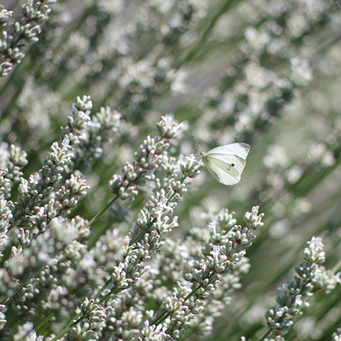 Butterfly among white lavender plants